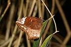 Elymnias caudata-Kadavoor-2016-07-30-001.jpg