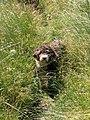 Emma spanish waterdog 2.jpg