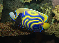 Emperor angelfish, Pomacanthus imperator.jpg