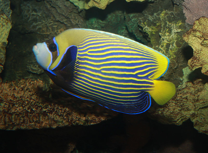 File:Emperor angelfish, Pomacanthus imperator.jpg