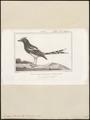 Enicurus leschenaultii - 1838 - Print - Iconographia Zoologica - Special Collections University of Amsterdam - UBA01 IZ16300135.tif
