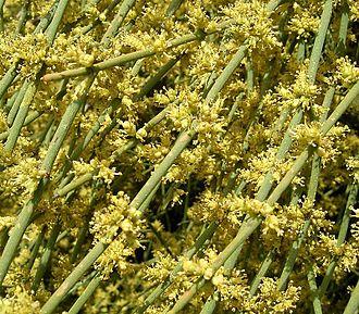 Ephedra (plant) - Ephedra fragilis pollen cones