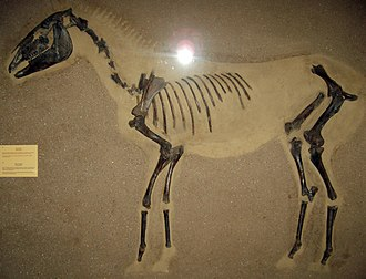 Wild horse - Equus ferus fossil from 9100 BC found near Odense, at the Zoological Museum in Copenhagen