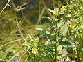 Erect Hygrophila (4021819775).jpg