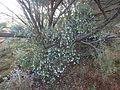 Eremophila clarkei (habit).jpg