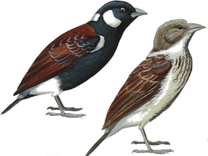 Chestnut-backed sparrow-lark - Illustration of a pair
