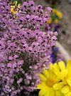 Erica canaliculata2