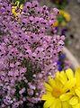 Erica canaliculata2.jpg