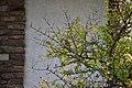 Erithacus rubecula in the garden.jpg
