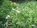 Erodium chrysanthum01.jpg
