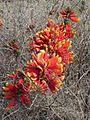 Erythrina acanthocarpa01.jpg