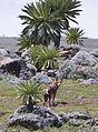 Ethiopian wolf & giant lobelia.jpg