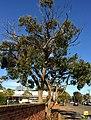Eucalyptus baxteri.jpg