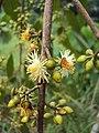Eucalyptus camaldulensis 21.JPG