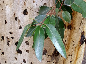 Eucalyptus cladocalyx - Image: Eucalyptus cladocalyx leaves and bark