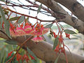 Eucalyptus ficifolia2193143408.jpg