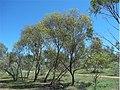 Eucalyptus normantonensis.jpg