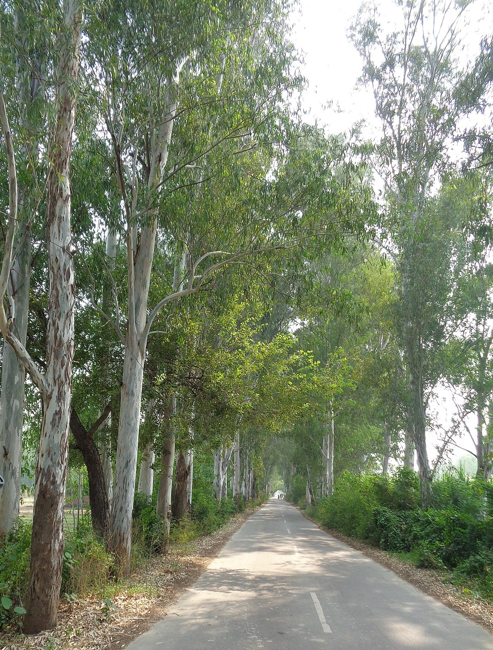 Eucalyptus plantation along rural roads in Punjab