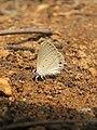Euchrysops cnejus Fabricius, 1798 – Gram Blue at Aralam Wildlife Sanctuary 2016 (17).jpg
