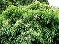Euonymus carnosus form.jpg