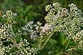 Eupatorium perfoliatum 002.JPG