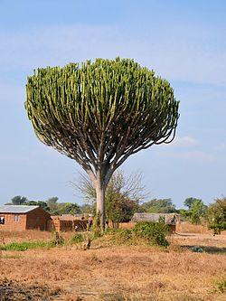 Euphorbia ingens (habitus).jpg