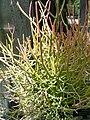 Euphorbia tirucalli 1.jpg