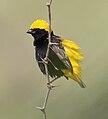 Euplectes afer -Lake Baringo, Kenya -male-8 CROP.jpg