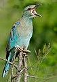 Eurasian Roller (Coracias garrulus semenowi) (16494060926).jpg