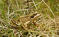 European Common Frog Rana temporaria 2.jpg