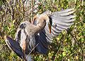 Everglades Snakebird verkl.jpg