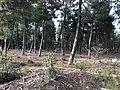 Explotación de resina en el pinar de Peñausende 1.jpg