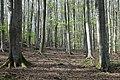 Fagus sylvatica forest TK 2021-05-09 1.jpg