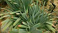 Fan Aloe (Aloe plicatilis) 3.jpg