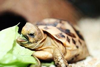 Tortoise - Baby tortoise feeding on lettuce