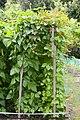Feixons - Judias - Beans - Phaseolus vulgaris - 01.jpg