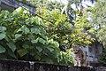 Felis silvestris catus (37023263212).jpg