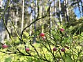 Femöre naturreservat blåbärsris.jpg