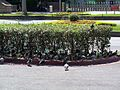 Feral Pigeons under Bush in Afternoon 20090801.jpg