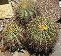 Ferocactus glaucescens 1.jpg