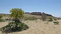 Ferula assa-foetida (Uzbekistan) 1.jpg
