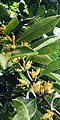 Ficus microcarpa – Twig with flowers.jpg