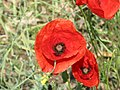 Field poppy - Papaver rhoeas - panoramio (2).jpg