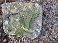 Findling Nr. 121, Macrourus – Kalk, glaukonitisch (Findlingspfad Cottbus - Schmellwitz).jpg