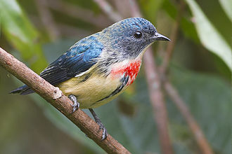 Fire-breasted flowerpecker - Male of nominate subspecies from Khangchendzonga National Park