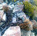 Firedamaged Aloe perfoliata - Hex River Mountains - SA2.jpg
