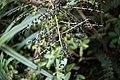 Fivefinger berries at Moore's Bush in Dunedin KC 010519.jpg
