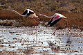 Flamingos of Hormuz Island (13931109153137590).jpg