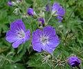Fleur en Vanoise (13).JPG