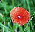 Flickr - Duncan~ - Poppy.jpg